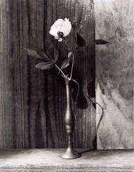 Sweet White Rose
