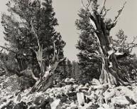 Bristle Cones, Mt. Wheeler